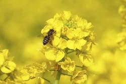 蜂と菜の花の画像