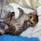 子猫が寝ころんでいる画像
