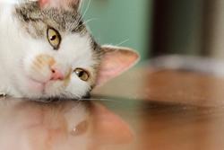 机に寝そべる猫の画像
