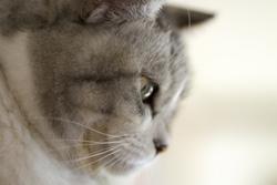 猫の横顔の画像