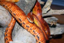オレンジ色の蛇の画像