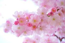 桜の夢を見たときの夢占い・夢診断