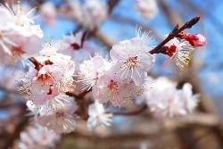 梅の夢を見たときの夢占い・夢診断