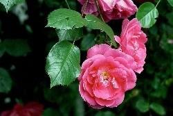 バラの夢を見たときの夢占い・夢診断
