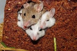 ネズミの夢を見たときの夢占い・夢診断