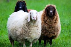 羊の夢を見たときの夢占い・夢診断