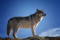 オオカミの夢を見たときの夢占い・夢診断